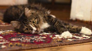 じゅうたんと猫