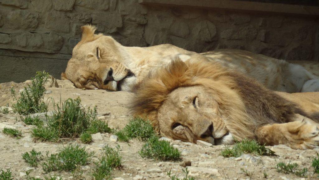 休息ライオン