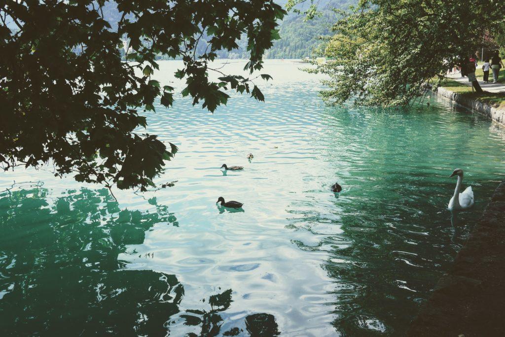 湖を泳ぐ水鳥